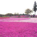 羊山公園の芝桜 見頃は今週中!週末は4/23-24を狙え!?